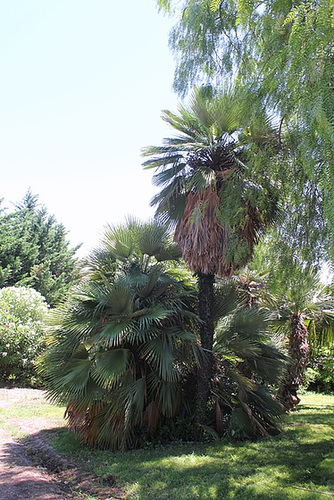 Groupe de Chamaerops humilis erecta -rigida