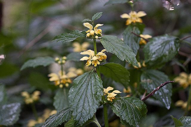 20110426 1343RMw Goldnessel (Lamiastrum galeobdolon)