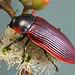 Temognatha marginalis  PL2286