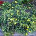 Des jolies fleurs jaunes