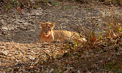 Wild Asiatic lion.India
