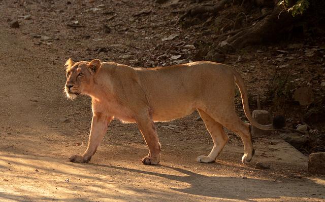 Wild Asiatic lion. India