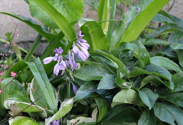 Hosta- Fleurs d'Hosta