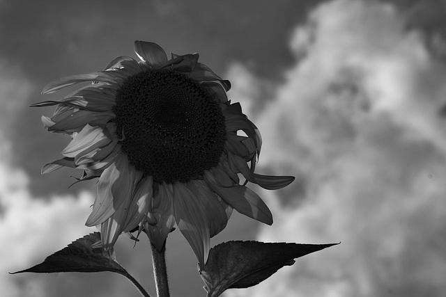 IMG 1008-Sunflower