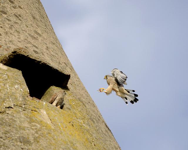 Falke von der Schaafheimer Warte im Anflug - skeptisch beobachtet ;-)