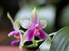 Phalaenopsis bellina (violacea borneo)