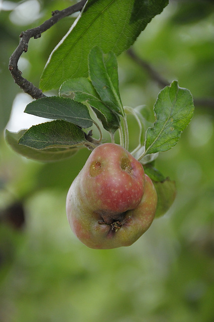 Unser Apfel