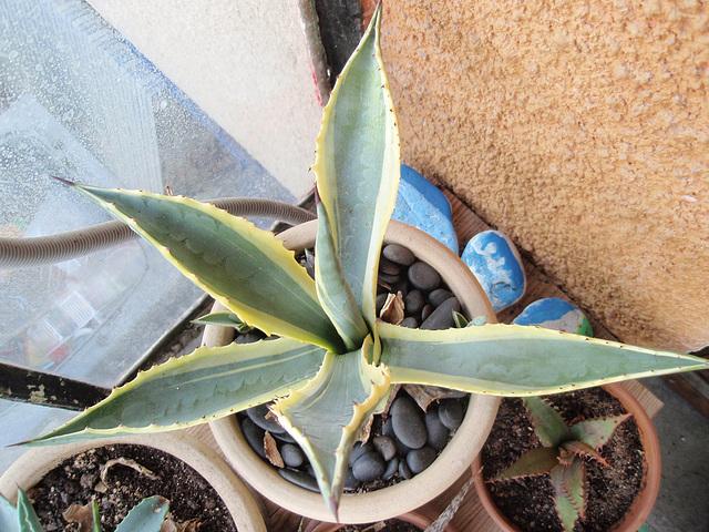 agave américana marginata P6052033