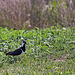 20110424 1181RTw [D-PB] Kiebitz (Vanellus vanellus), Steinhorster Becken, Delbrück