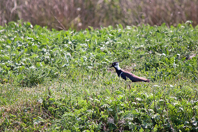20110424 1178RTw [D-PB] Kiebitz (Vanellus vanellus), Steinhorster Becken, Delbrück