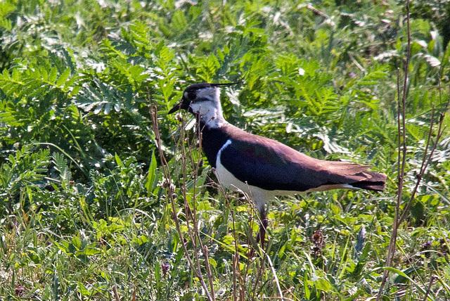 20110424 1177RTw [D-PB] Kiebitz (Vanellus vanellus), Steinhorster Becken, Delbrück