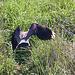 20110424 1174RTw [D-PB] Kiebitz (Vanellus vanellus), Steinhorster Becken, Delbrück