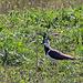 20110424 1176RTw [D-PB] Kiebitz (Vanellus vanellus), Steinhorster Becken, Delbrück