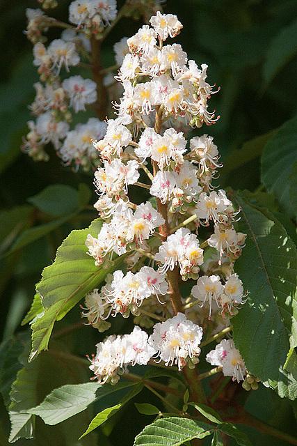 20110424 1316RAw [D-PB] Kastanienblüte