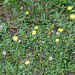 Piloselle- Hieracium pilosella