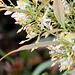 Nandina -détail des fleurs