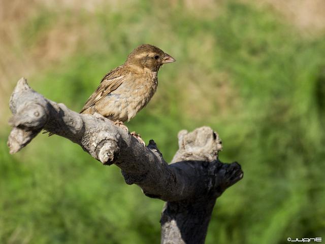 Gorrion moruno-Passer pispaniolensis (♀)