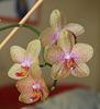 Phalaenopsis Coral Sea