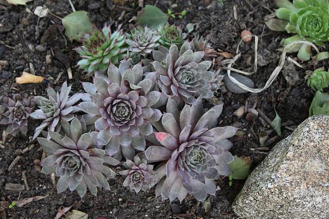 Sempervivum hybride gris 2