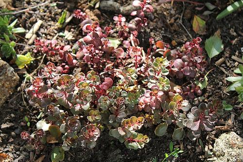 Sedum spurium coccineum