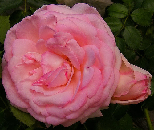 Mon amie la rose...
