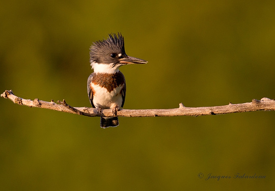 Martin pêcheur femelle / Belted Kingfisher / Ceryle alcyon