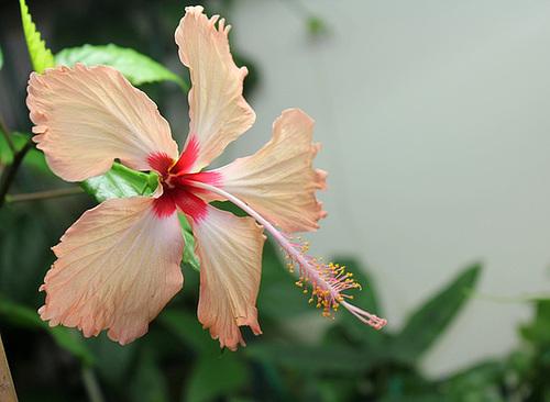 Hibiscus : conseils de culture et floraisons 11089659.c9d3ad94.500