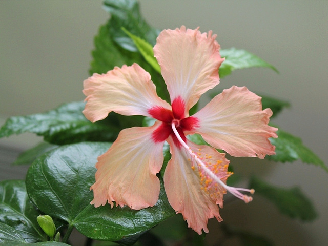 Hibiscus Fort-de-France