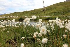 Wollgras am Torsee