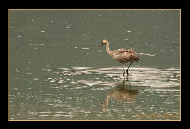 Grue cendrée au Lac de Bret
