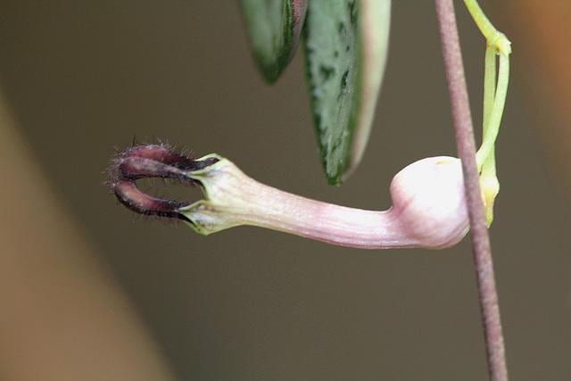 Ceropegia linearis ssp woodii 4