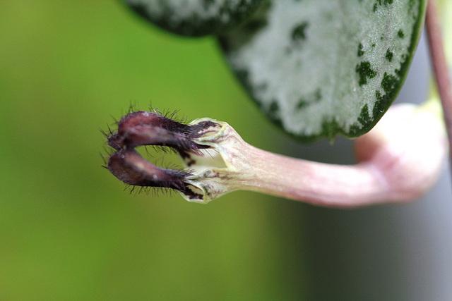 Ceropegia linearis ssp woodi 6