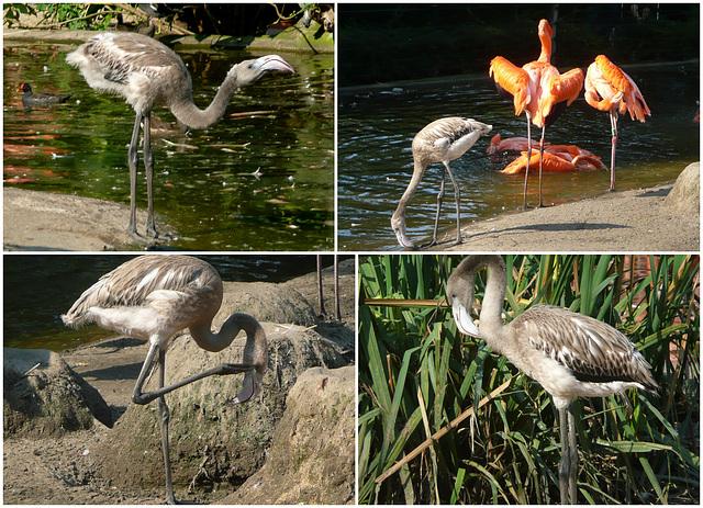 Zoo Dresden - Junge Flamingos