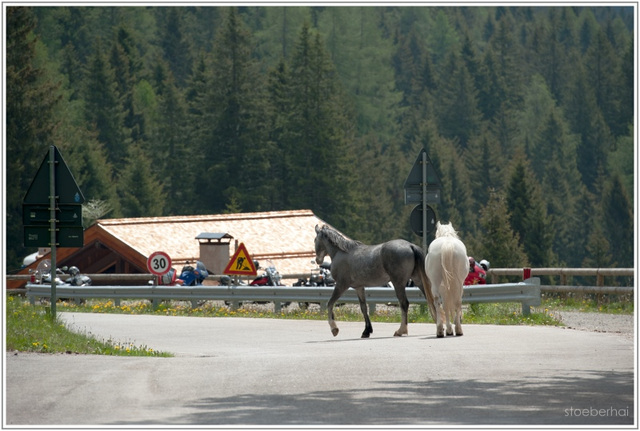 Loose horses at Manghen pass