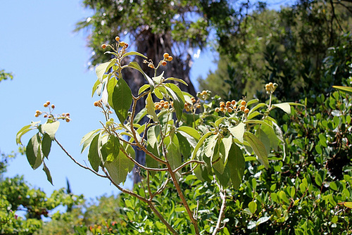 Solanum mauritianum