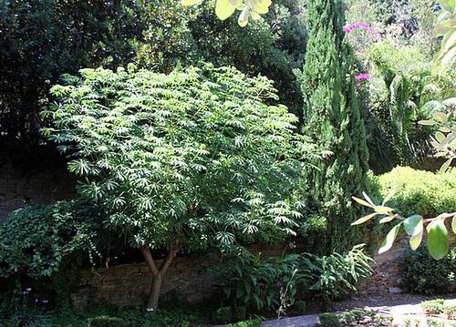 Manihot esculenta -carthaginensis- Un Manioc