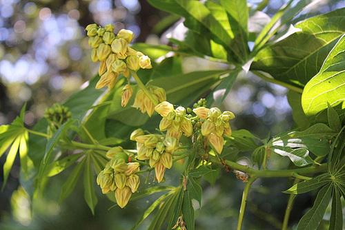 Manihot esculenta- carthaginensis