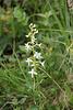 zweiblättrige Waldhyazinthe - Orchidee des Jahres 2011