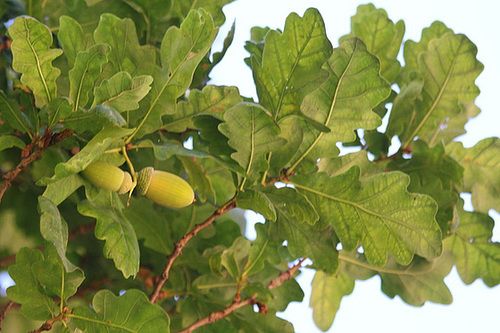 Chêne pédonculé 2