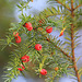 If- Taxus baccata