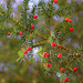 If- Taxus baccata (2)