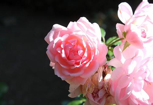 Rose dans le soleil