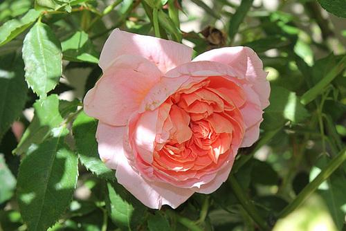 Rose inconnue 3