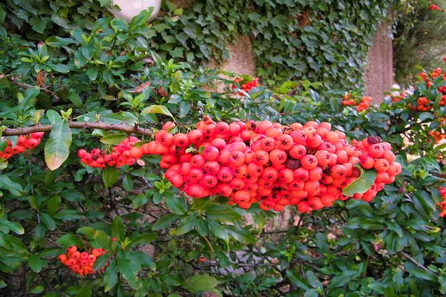 Fruit du Piracantha