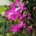 SCH. rose (6)