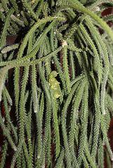 Rhipsalis baccifera ssp horrida