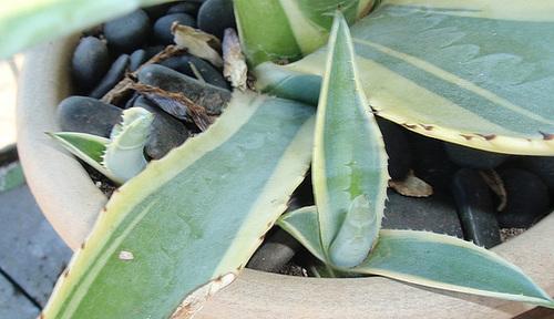 agave américana marginata PA233768-1