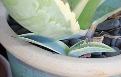 agave américana marginata PA233769-1