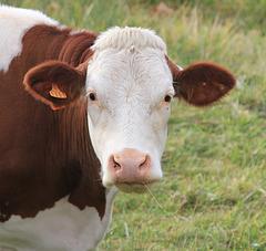 Vache Montbéliarde (2)