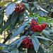 Viburnum rhytidophyllum 2